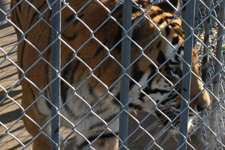 Court orders tiger from truck stop