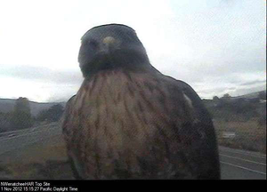 "Hawk to DOT: ""Point me to the nearest roadkill?"""