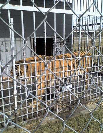 Tony the Tiger, in his cage at the Tiger Truck Stop in Gross Tete, La. | Photo from FoxNews.com.