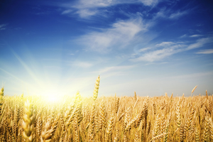 Wheat-derived products are the most prevalent source of gluten, a problem for the 1 in 200 people who suffer from celiac disease.