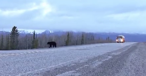 "Among the highway scenes in the video for Australian Caede Ridgeway's ""From Miles Around"" rocking trucking track are this one, capturing a black bear and a tanker truck."