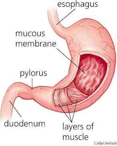 stomach diagram