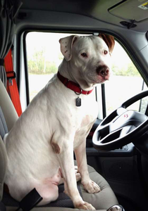 """Hanlon's certainly wouldn't be the first driver to run with a pet pit. Gilbert (pictured) was an entry in our Most Love Pets competition, recently rounded up. He's the pet of owner-operator Lee Williams, who says he was adopted """"from Villalobos Rescue Center"""" after having been there seven years following rescue from a California fighting ring. """"We had applied to other places for a pet, but because we are truck drivers they wouldn't adopt to us.  Thank god Villalobos thought outside of the box."""" Gilbert """"loves riding.... His forever home is with us."""""""