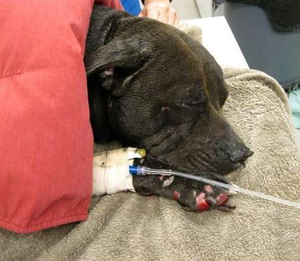 Sullivan's ridealong pit bull, Bella, was thrown from his truck during the accident and missing for a time before found, injured but alive.