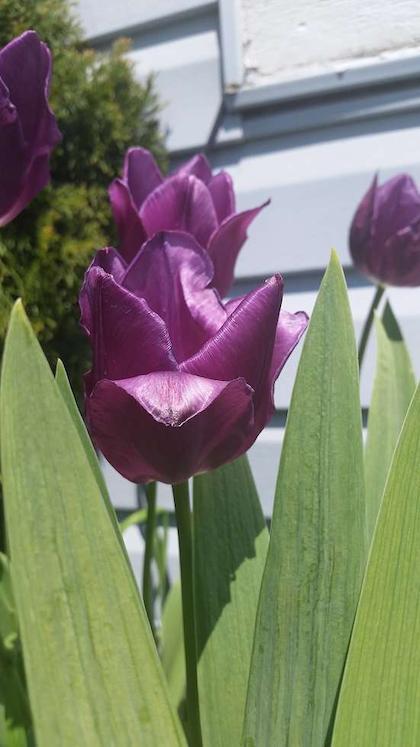 purple tulips edit