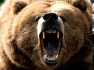 The screaming bears of Montana